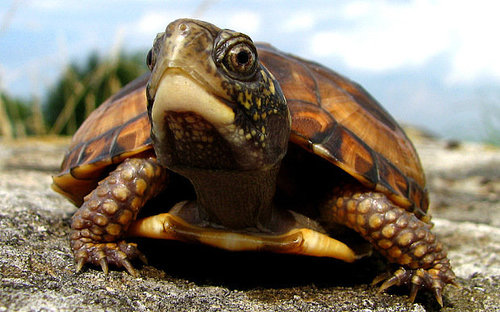 internet explorer turtle